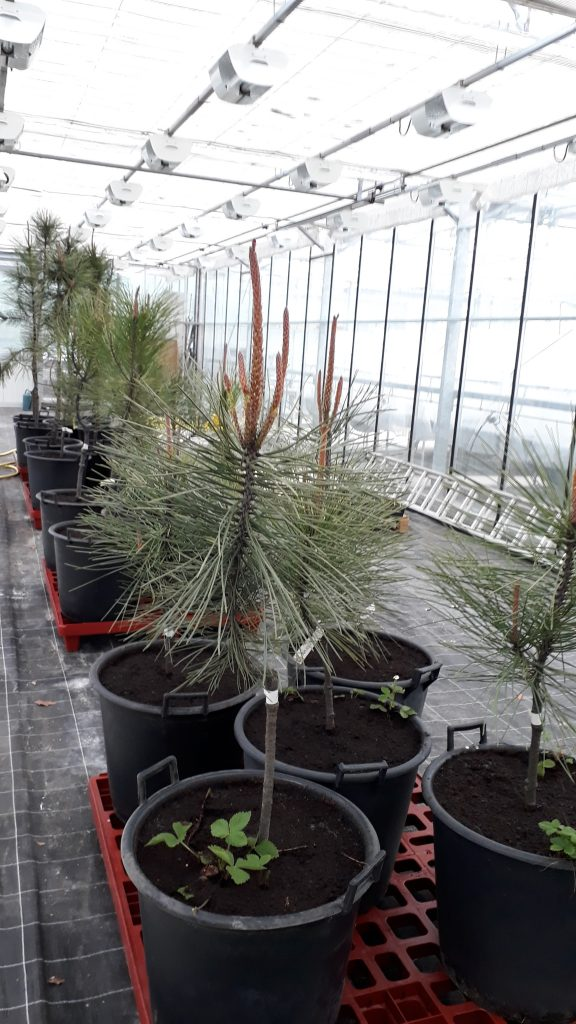 Maritime pine raised in greenhouse