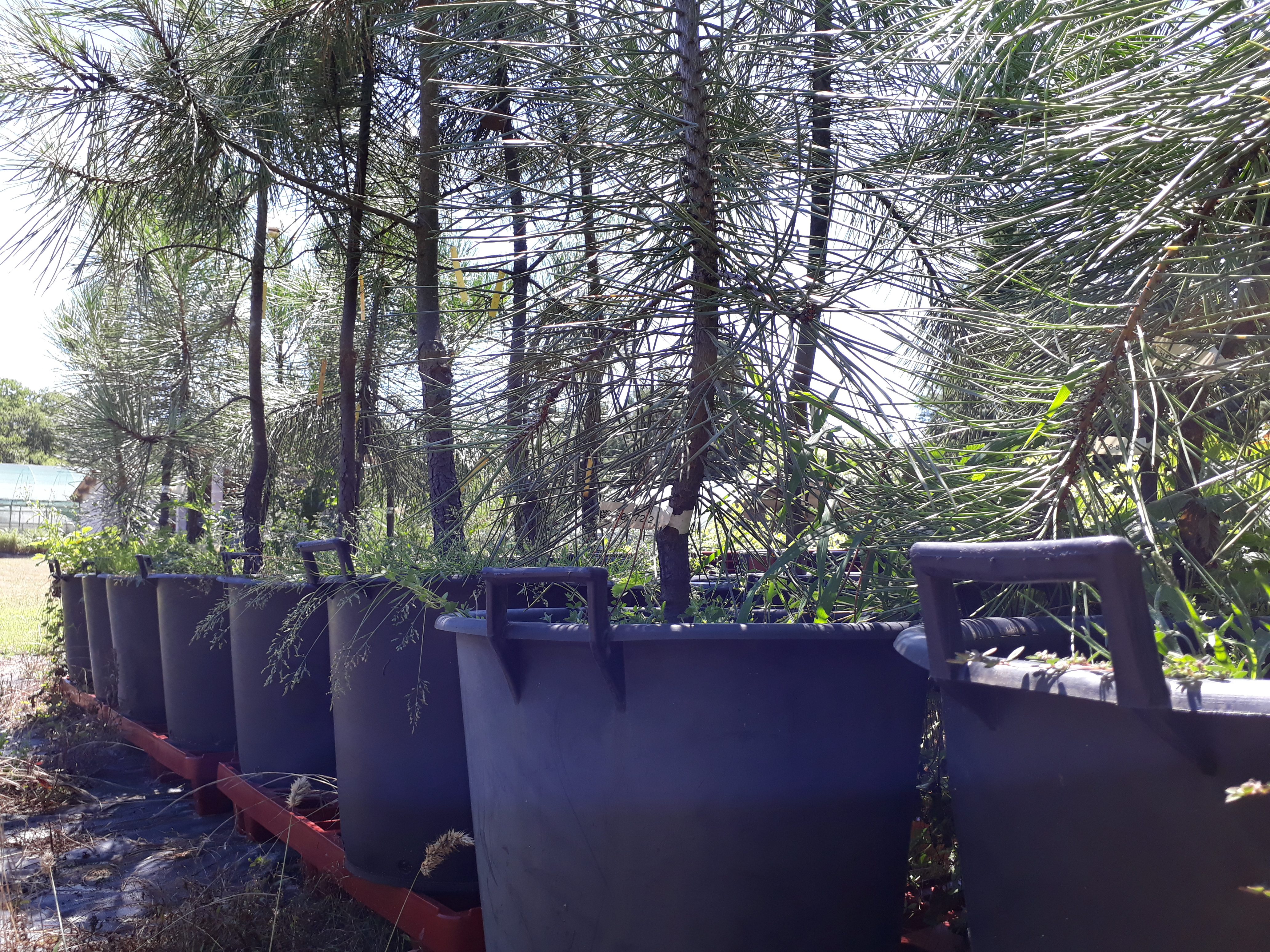 A greenhouse seed orchard to improve maritime pine seed production