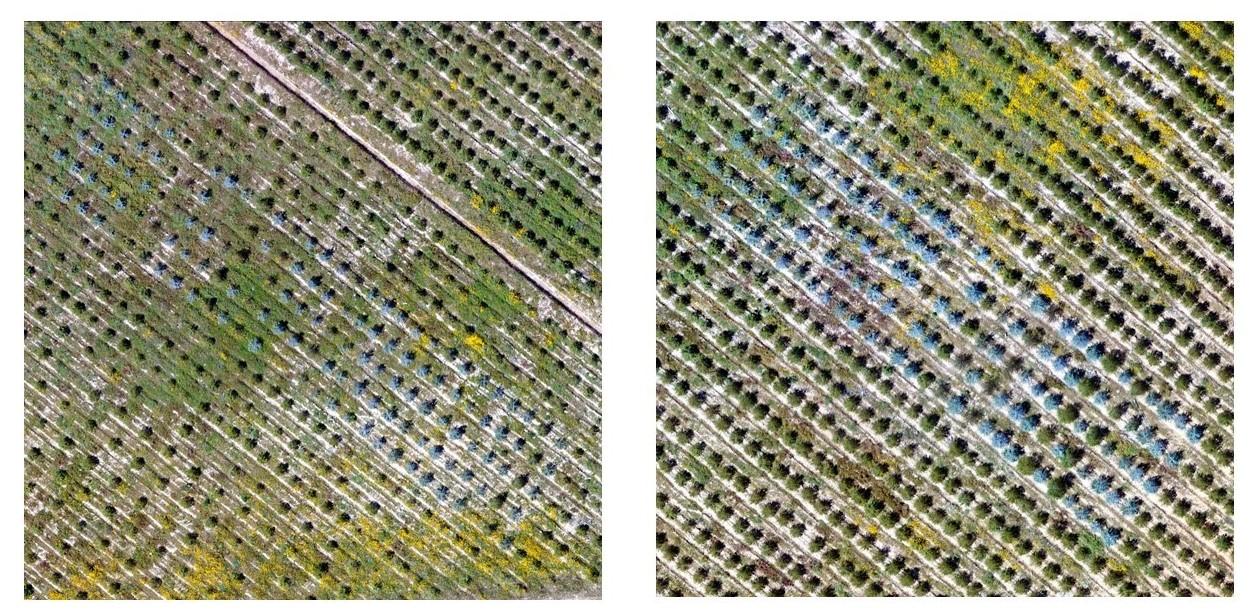 Drone footage of Eucalytus trials