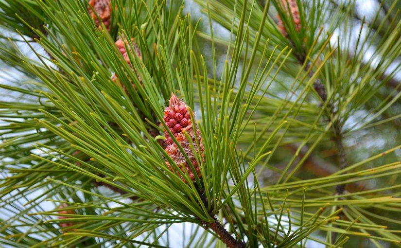 Martime Pine